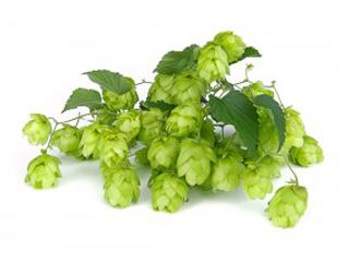{:ca}llupol cerveses ponent{:}{:es}lúpulo cerveses ponent{:}
